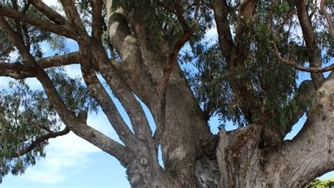 big tuart tree   significant tree register mandurah mail