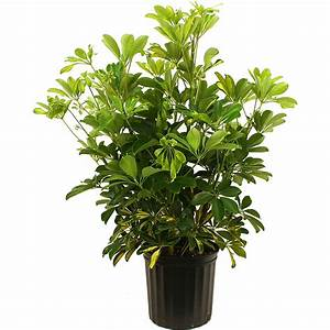 Costa, Farms, Live, Indoor, 2ft, Tall, Green, Schefflera, Capella, Partial, Sun, Plant, In, 10in, Grower