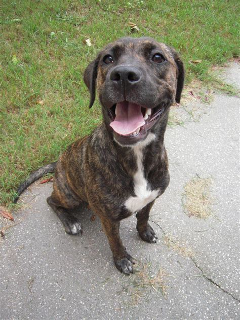 Plott Hound Images Plott Hound Breed History And Some Interesting Facts