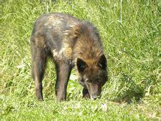 wolf hybrids images   alaskan malamute
