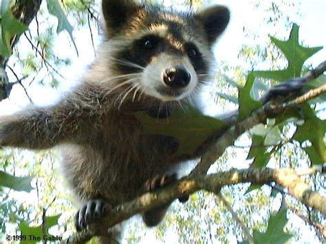 raccoons as pets pet raccoon images
