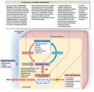 Carbohydrate Metabolism Diagram