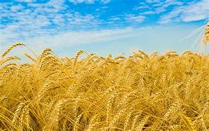HD Wheat Field Background HD Wallpaper | Download Free ...