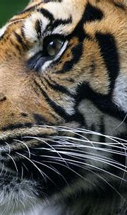 Big cats Tigers Glance Whiskers Snout Animals wallpaper ...