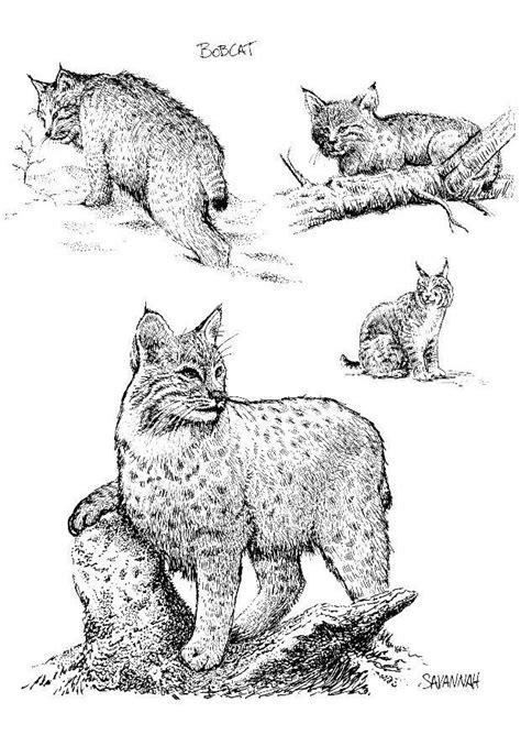 coloriage lynx img
