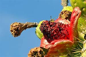 Photo: Saguaro Cactus Fruit | Fruit, Seeds, Berries, Pods ...
