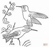 Hummingbird Coloring Pages Hummingbirds Rufous Drawing Printable Ruby Bird Throated Birds Sheets Swallow Sheet Tailed Colouring Flower Supercoloring Drawings Getdrawings sketch template