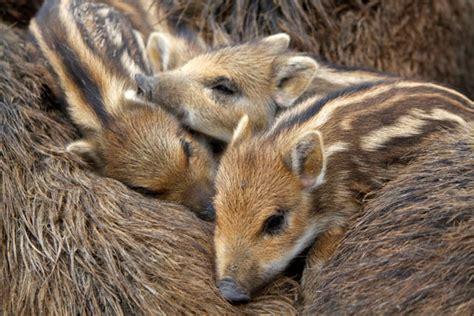 regional ansaessige tiere im wald teil das wildschwein