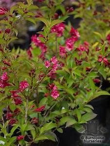 Weigela Bristol Ruby : weigela 39 bristol ruby 39 from burncoose nurseries ~ Michelbontemps.com Haus und Dekorationen