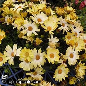 Osteospermum fr... Daisy