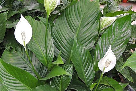 Zimmerpflanzen Für Schattige Standorte