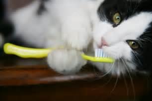 cat teeth cleaning risks dallas tx pet dental care summertree animal bird