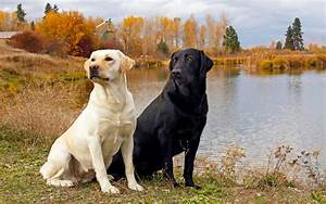 Labrador Retriever Pictures | Dog Breed Pictures Small Large