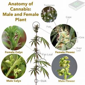 Anatomy Of The Cannabis Plant  U2013 Marijuana Subjects