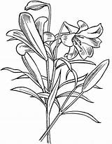 Coloring Lily Flower Pages Flowers Pad Easter Lilly Drawing Lilies Printable Adults Getcoloringpages Getdrawings Results sketch template