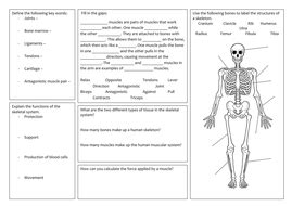 Ks3 Skeletal And Muscle System Revision Mat By Bljohnson39  Teaching Resources Tes
