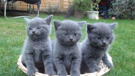 shorthair kittens for sale blue shorthair kittens for sale hassocks west