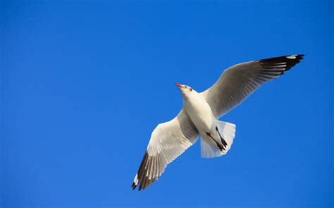 seagull flight  blue sky sfondi gratuiti  widescreen