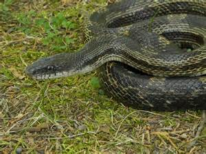 Rat Snake Tennessee