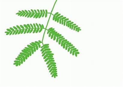 Touch Plant Leaves Mimosa Plants Pudica Google