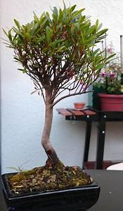 Bonsai Stecklinge Machen : was f r einen outdoor bonsai habe ich da gekauft ~ Indierocktalk.com Haus und Dekorationen