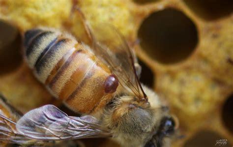 Honey Bee Varroa Mite
