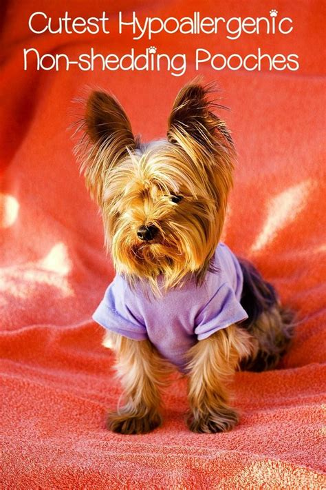 cute small hypoallergenic dogs  dont shed dogvills