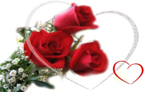 sweet valentine roses romantic delicate red  hd