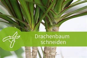 Drachenbaum Schneiden Video : drachenbaum schneiden anleitungen zum k rzen und vermehren ~ Watch28wear.com Haus und Dekorationen