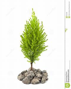 Urban Greening, Cypress Pine Sapling Royalty Free Stock ...