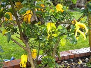 Gewächshaus Erde Wechseln : buddha 39 s hand citron for everyone who grows citrus ~ Whattoseeinmadrid.com Haus und Dekorationen