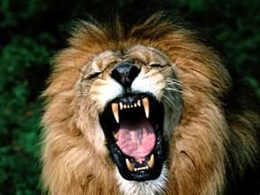 Image result for lion roaring