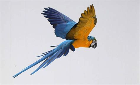 blue  gold macaw flying    yard birds