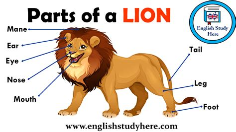 parts   lion vocabulary english study