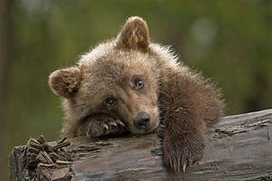 Rainy Day Grizzly Cub. | Little female grizzly cub I had ...