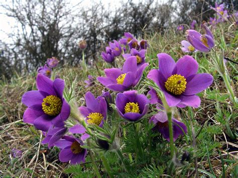 anémone pulsatilla at a glance spring purple