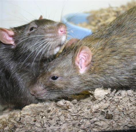 was fressen ratten am liebsten verhaltensforschung was menschen und ratten gemeinsam haben welt
