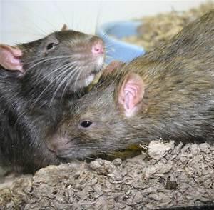 Was Fressen Ratten : verhaltensforschung was menschen und ratten gemeinsam haben welt ~ One.caynefoto.club Haus und Dekorationen