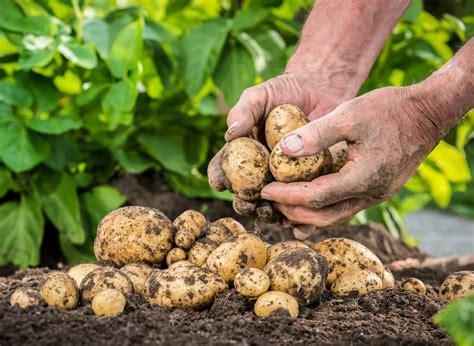 how to potatoes from garden fertiliser requirement of potatoes potato fertiliser program