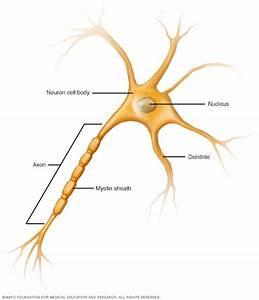 Nerve Cell  Neuron