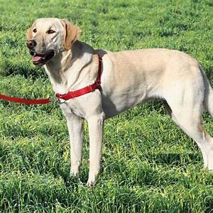 Walk-Easy dog harness – no-pull front lead