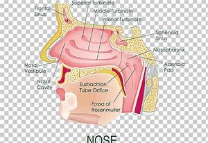 Nose Clipart Diagram  Nose Diagram Transparent Free For