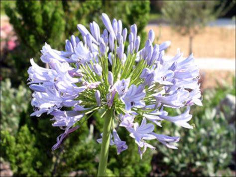 of nile flower plant id flowers and foliage lily of the nile florida master gardener program university