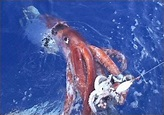 An Unexpected Error: The Colossal Squid