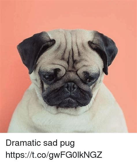 Sad Pug Meme - dramatic sad pug httpstcogwfg0lkngz meme on sizzle