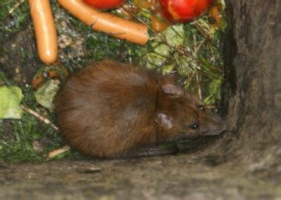 » Ratten Im Garten Urban Farmer
