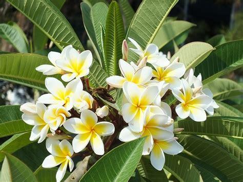 menanam bunga kamboja stek batang bibitbungacom