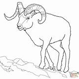 Dall Sheep Coloring Pages Bighorn Outline Printable Realistic Colouring Drawing Line Ram Animals Horns Supercoloring Template Rocky Getdrawings Mountain Crafts sketch template