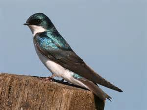 at the pond tree swallow pacific nw birder
