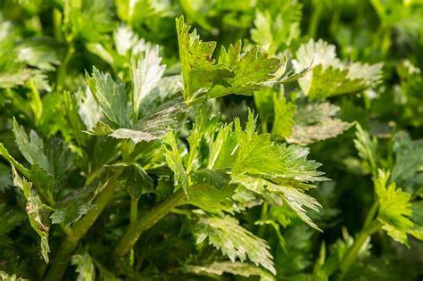 Selerijas audzēšana un selerijas izmantošana